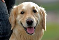 Golden_retriever_00.jpg