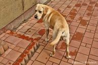 Golden_retriever_03.jpg